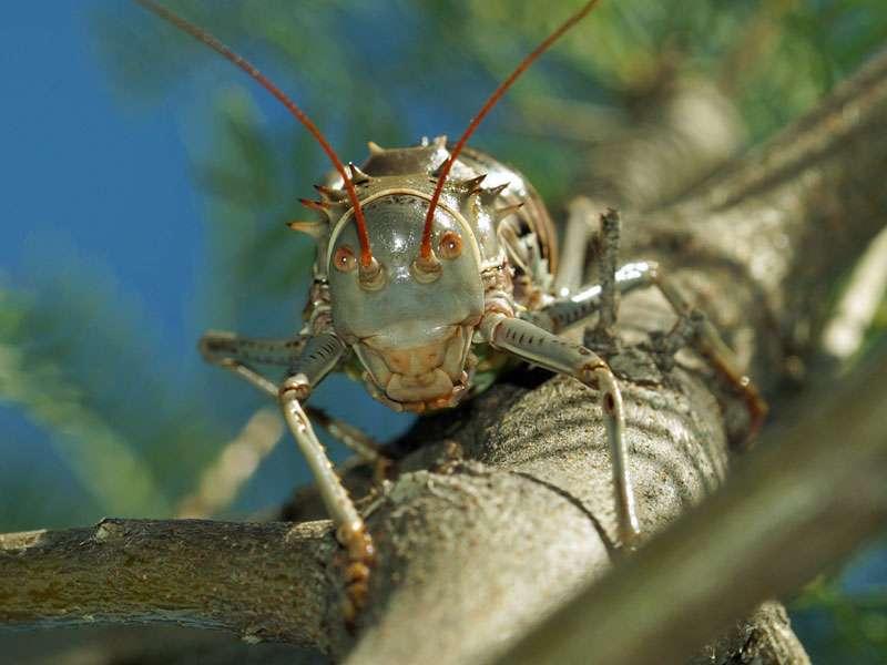 Gepanzerte Bodenschrecke (Armoured Ground Cricket, Acanthoplus discoidalis); Foto: 26.03.2017, Kuzikus Wildlife Reserve