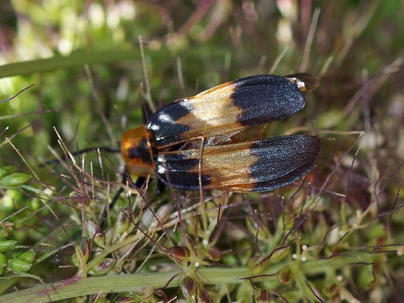 Lycus rostratus, Weibchen; Foto: 28.03.2017, Kuzikus Wildlife Reserve