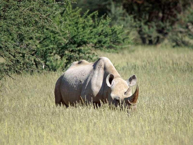 Spitzmaulnashorn (Black rhinoceros, Diceros bicornis); Foto: 02.04.2017, Kuzikus Wildlife Reserve