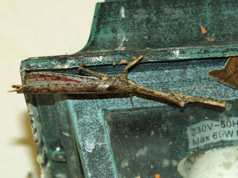 Unbestimmte Fangschreckenart Nr. 8; Foto: 02.04.2017, Kuzikus Wildlife Reserve