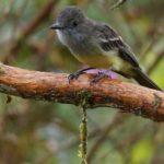 Tyrannen (Tyrant Flycatchers, Tyrannidae)