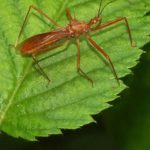 Wanzen (True Bugs, Heteroptera)