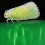 Zikaden (Leafhoppers and Cicadas, Auchenorrhyncha)
