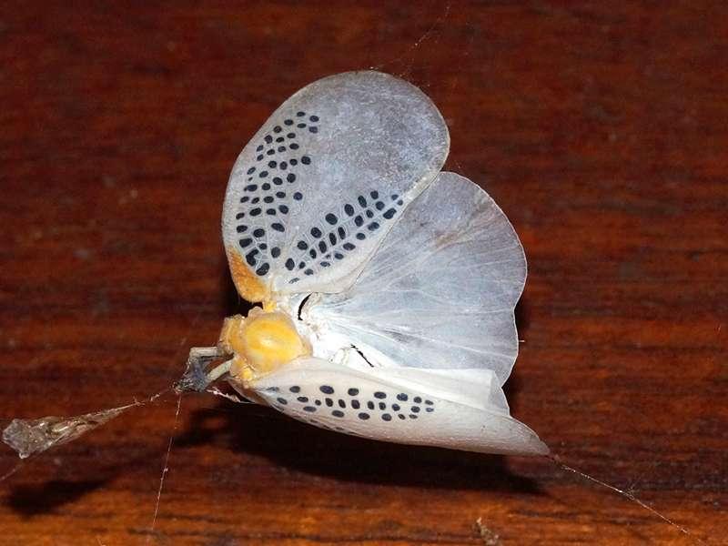 Poekilloptera sp.; Foto: 17.12.2017, Sacha Lodge