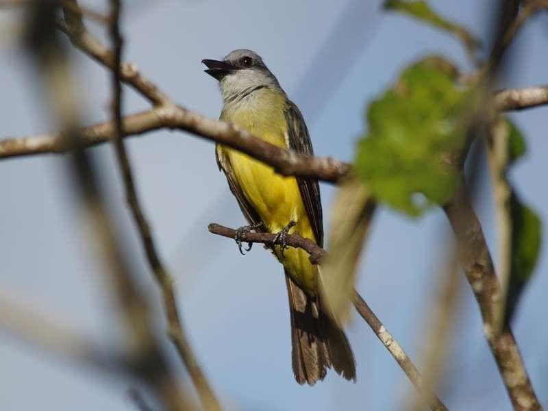 Trauerkönigstyrann (Tropical Kingbird, Tyrannus melancholicus); Foto: 17.12.2017, Sacha Lodge