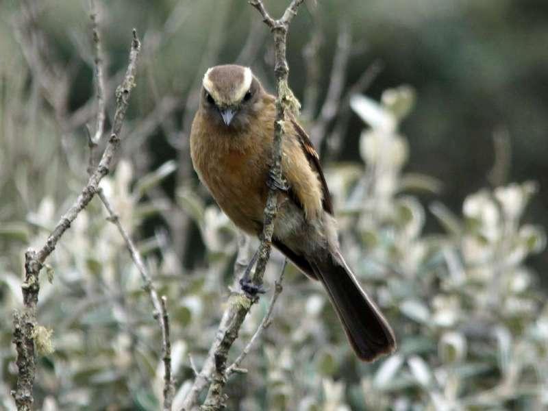 Fahlbrauen-Schmätzertyrann (Brown-backed Chat-tyrant, Ochthoeca fumicolor); Foto: 26.12.2017, Cotopaxi-Nationalpark