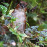 Ameisenpittas (Antpittas, Grallariidae)
