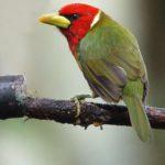 Bartvögel (New World Barbets, Capitonidae)