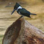 Eisvögel (River Kingfishers, Alcedinidae)