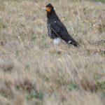 Falkenartige (Falcons, Falconidae)