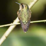Kolibris (Hummingbirds, Trochilidae)