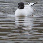 Möwen und Seeschwalben (Gulls and Terns, Laridae und Sternidae)