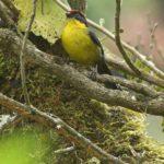 Neuweltammern (New World Sparrows, Passerellidae)