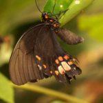Ritterfalter (Swallowtail Butterflies, Papilionidae)