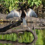 Schlangenhalsvögel (Darters, Anhingidae)