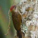 Spechte (Woodpeckers, Picidae)