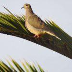 Tauben (Pigeons and Doves, Columbidae)