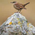 Töpfervögel (Ovenbirds and Woodcreepers, Furnariidae)