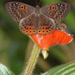 Würfelfalter (Metalmark Butterflies, Riodinidae)