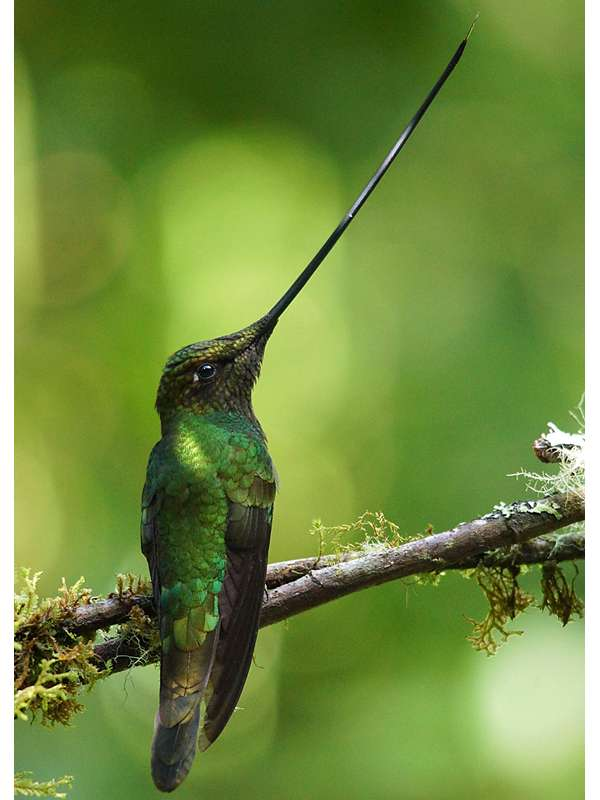 Schwertschnabelkolibri (Sword-billed Hummingbird, Ensifera ensifera); Foto: 07.12.2017, Guango Lodge, Nähe Papallacta