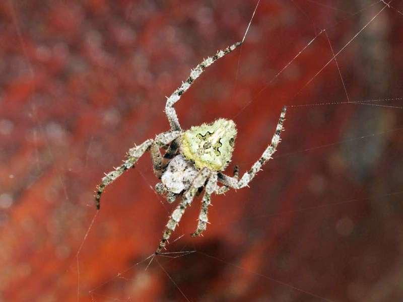 Unbestimmte Spinnenart Nr. 2; Foto: 07.12.2017, Cabañas San Isidro, Nähe Cosanga