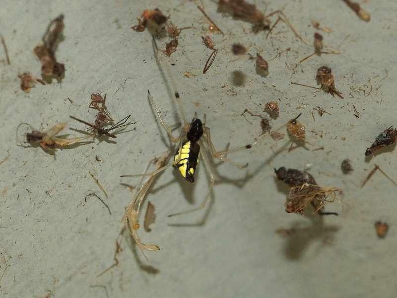 Unbestimmte Spinnenart Nr. 3; Foto: 07.12.2017, Cabañas San Isidro, Nähe Cosanga