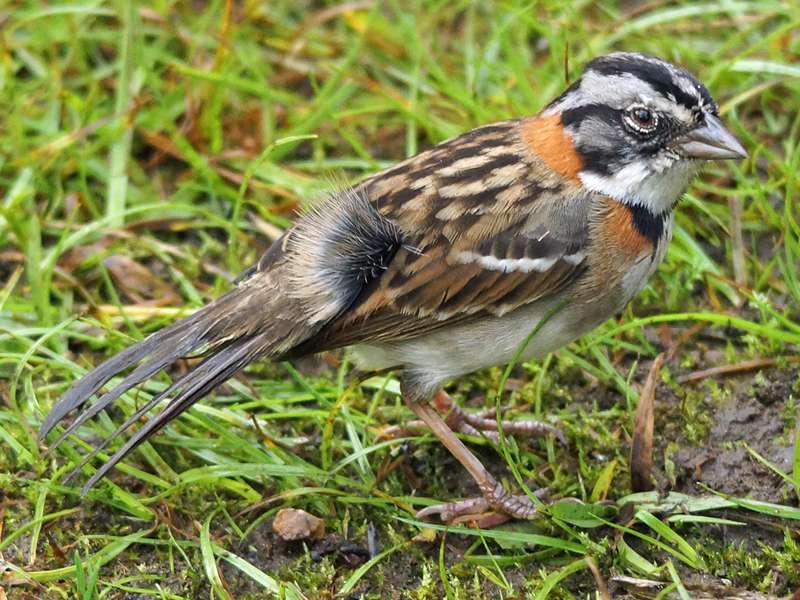 Morgenammer (Rufous-collared Sparrow, Zonotrichia capensis); Foto: 08.12.2017, Cabañas San Isidro, Nähe Cosanga
