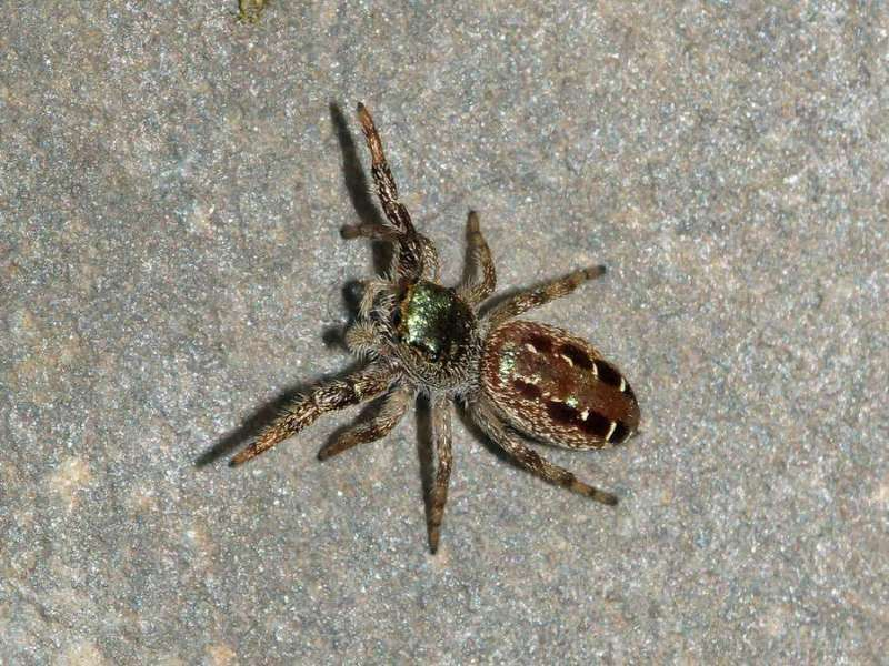 Unbestimmte Spinnenart Nr. 5 (Salticidae); Foto: 08.12.2017, Cabañas San Isidro, Nähe Cosanga