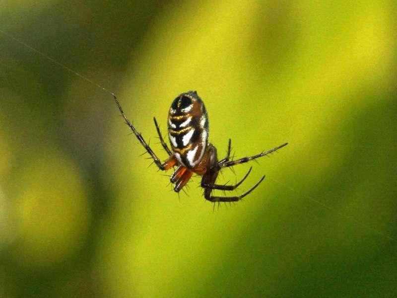 Unbestimmte Spinnenart Nr. 7; Foto: 08.12.2017, Huasquila Amazon Lodge, Nähe Cotundo