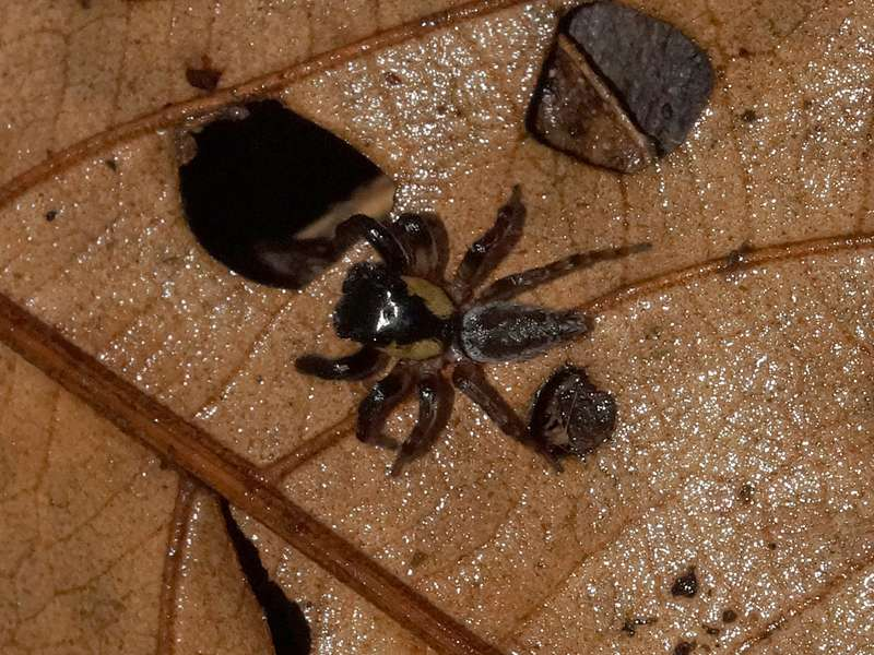 Unbestimmte Spinnenart Nr. 8 (Salticidae); Foto: 08.12.2017, Huasquila Amazon Lodge, Nähe Cotundo