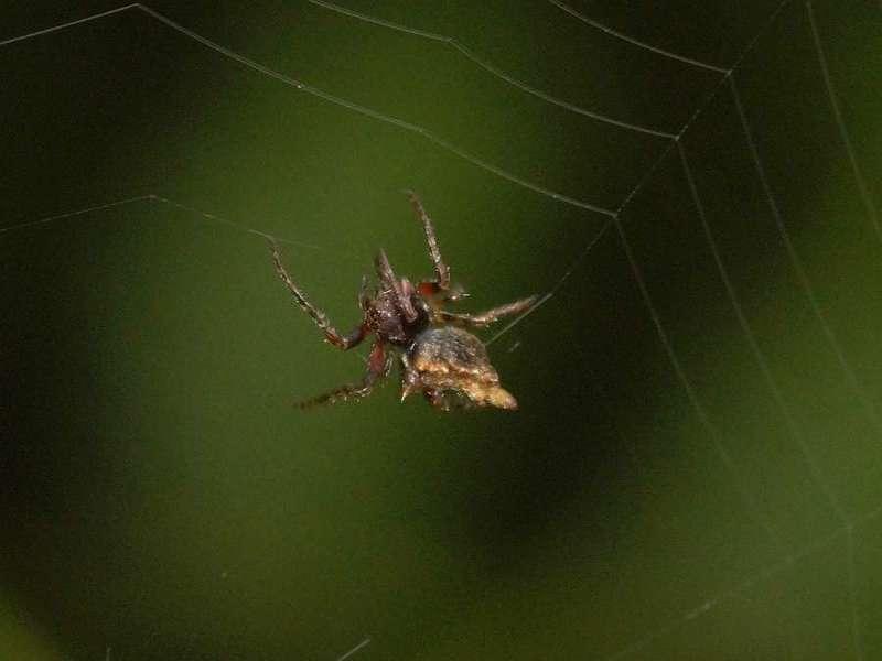 Unbestimmte Spinnenart Nr. 9; Foto: 08.12.2017, Huasquila Amazon Lodge, Nähe Cotundo
