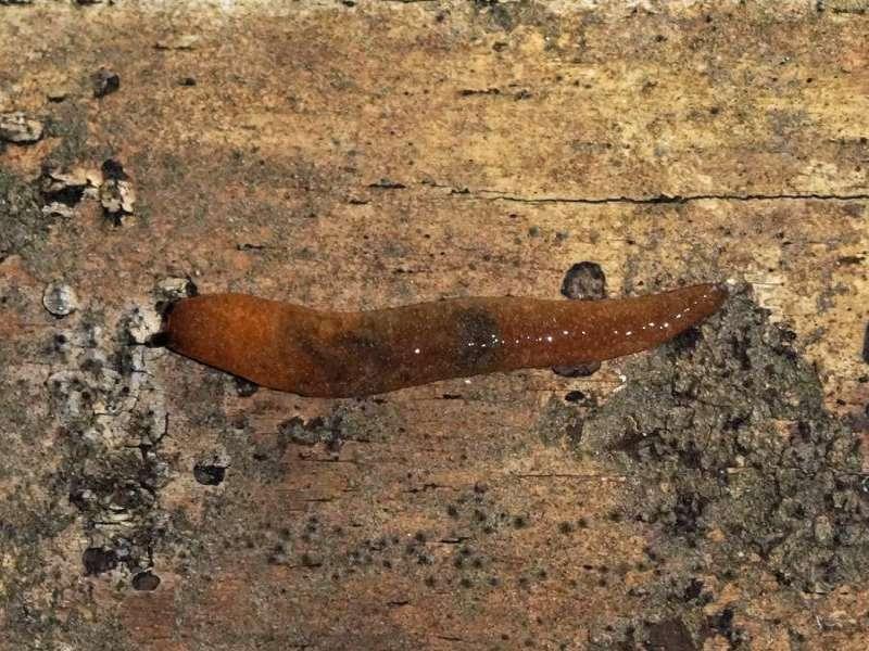 Bierschnegel (Yellow Slug, Limacus flavus); Foto. 08.12.2017, Huasquila Amazon Lodge, Nähe Cotundo