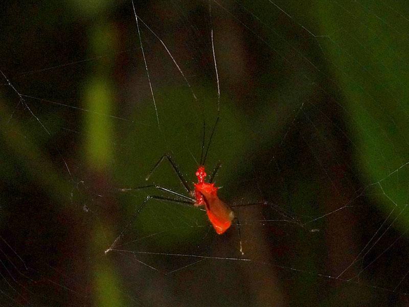 Ricolla quadrispinosa, Foto: 08.12.2017, Huasquila Amazon Lodge, Nähe Cotundo