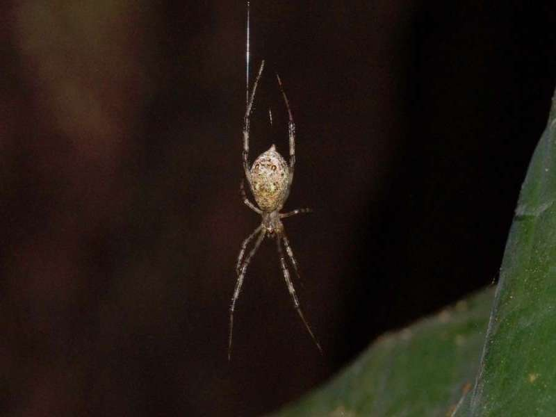 Unbestimmte Spinnenart Nr. 11; Foto: 08.12.2017, Huasquila Amazon Lodge, Nähe Cotundo
