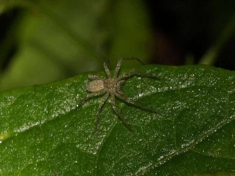 Unbestimmte Spinnenart Nr. 17; Foto: 08.12.2017, Huasquila Amazon Lodge, Nähe Cotundo