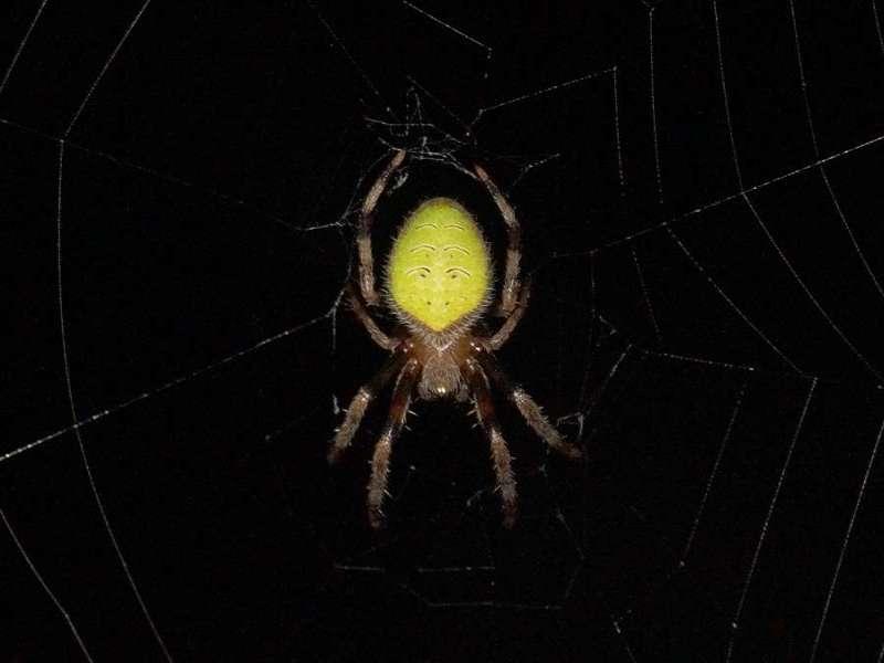 Unbestimmte Spinnenart Nr. 14; Foto: 08.12.2017, Huasquila Amazon Lodge, Nähe Cotundo
