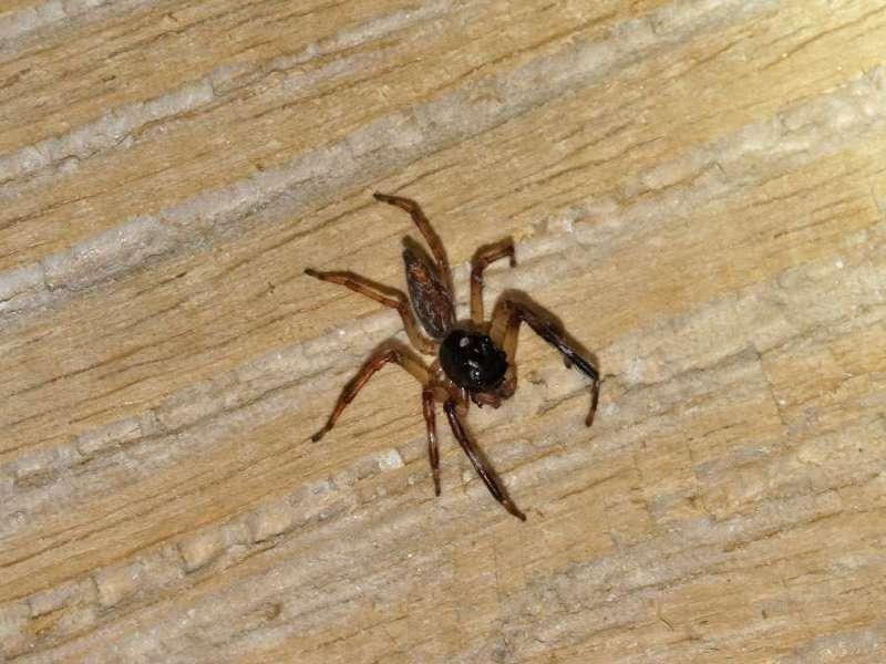 Unbestimmte Spinnenart Nr. 19 (Salticidae); Foto: 08.12.2017, Huasquila Amazon Lodge, Nähe Cotundo