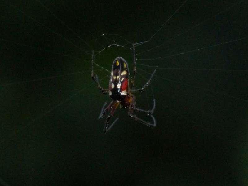 Unbestimmte Spinnenart Nr. 20; Foto: 09.12.2017, Huasquila Amazon Lodge, Nähe Cotundo