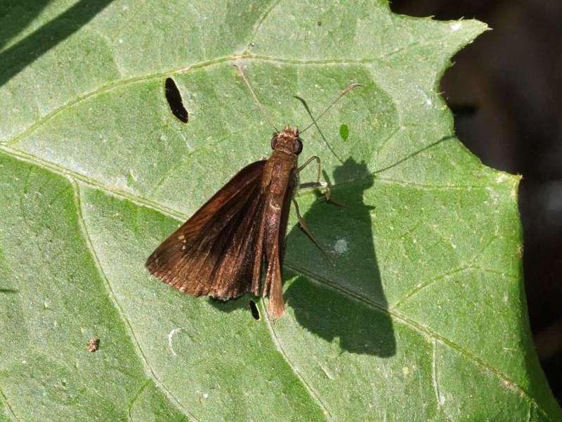 Unbestimmte Schmetterlingsart Nr. 156; Foto: 09.12.2017, Nähe San-Rafael-Wasserfall