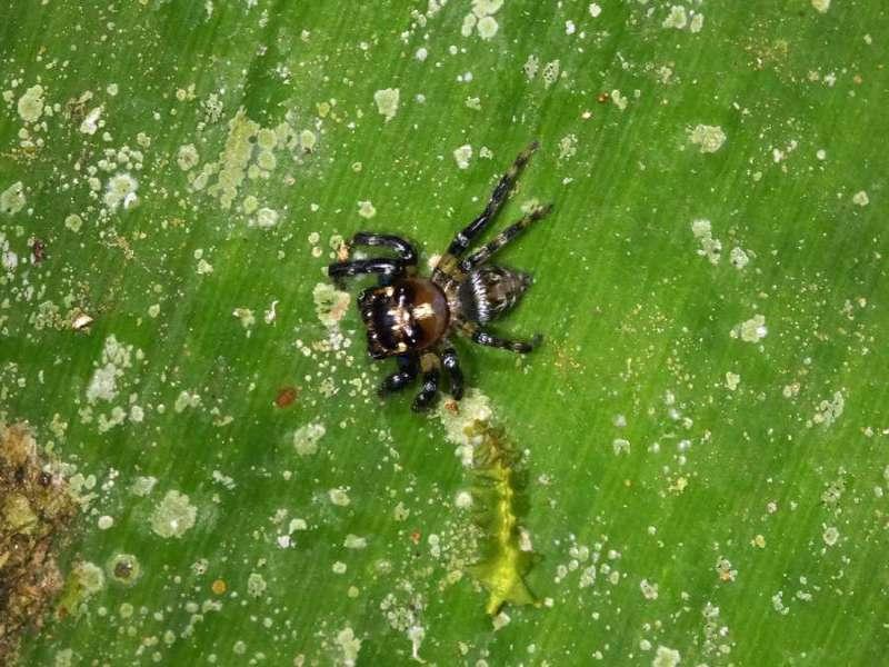 Unbestimmte Spinnenart Nr. 26 (Salticidae); Foto: 09.12.2017, Hakuna Matata Lodge, Nähe Tena