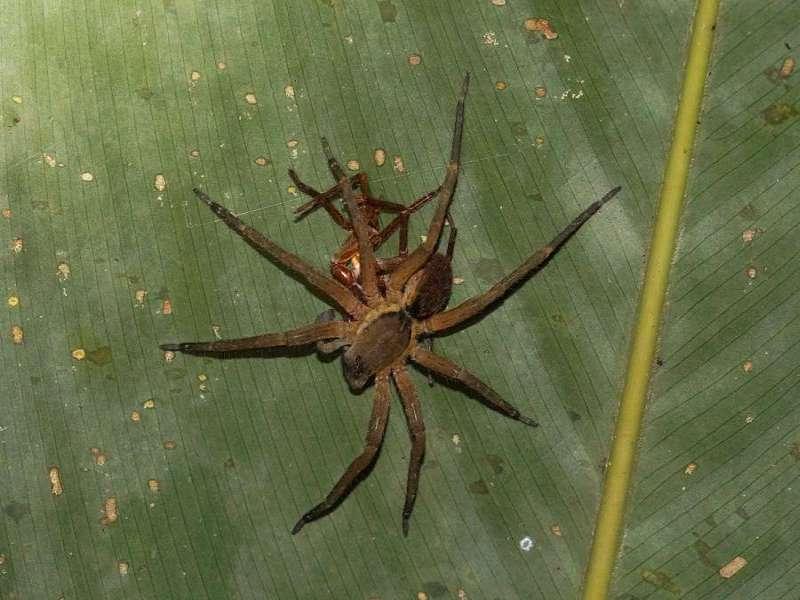 Unbestimmte Spinnenart Nr. 24; Foto: 09.12.2017, Hakuna Matata Lodge, Nähe Tena