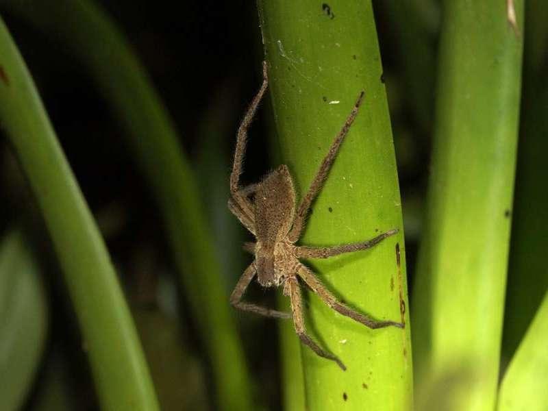 Unbestimmte Spinnenart Nr. 25; Foto: 09.12.2017, Hakuna Matata Lodge, Nähe Tena