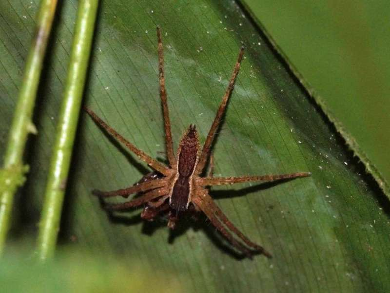 Unbestimmte Spinnenart Nr. 31; Foto: 10.12.2017, Hakuna Matata Lodge, Nähe Tena