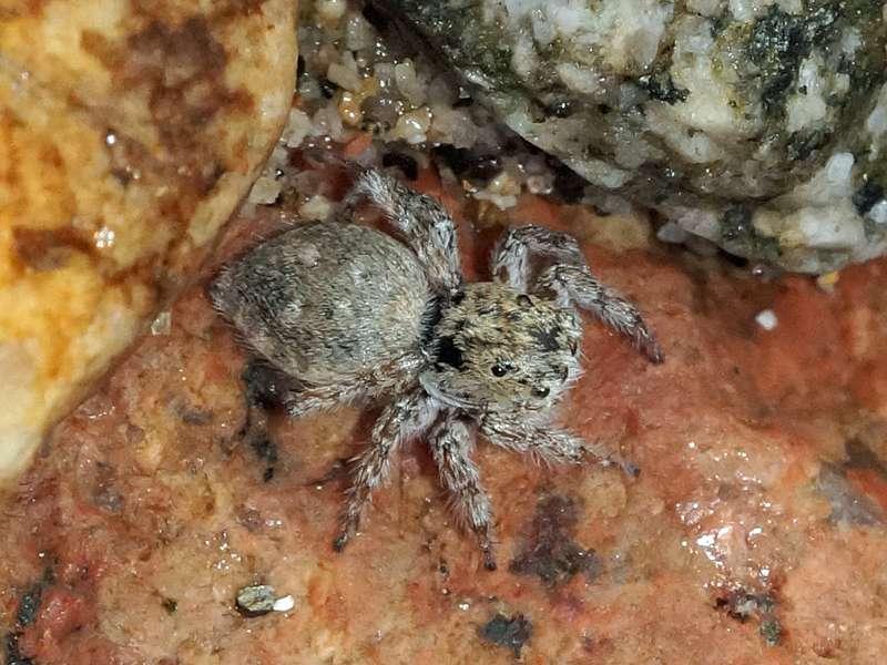 Unbestimmte Spinnenart Nr. 32 (Salticidae); Foto: 10.12.2017, Hakuna Matata Lodge, Nähe Tena