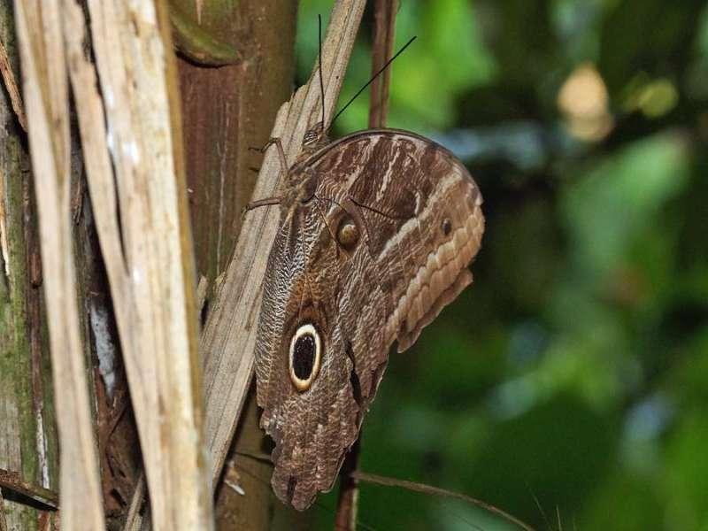 Unbestimmte Schmetterlingsart Nr. 162 (Caligo sp.); Foto: 10.12.2017, Hakuna Matata Lodge, Nähe Tena