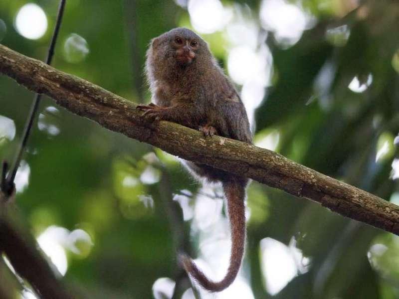Zwergseidenäffchen (Pygmy marmoset,Callithrix pygmaea); Foto: 10.12.2017, Nähe Puerto Francisco de Orellana