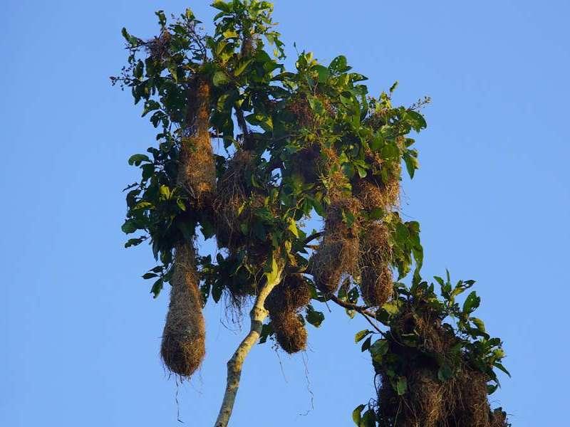 Nester des Breithauben-Stirnvogels (Russet-backed Oropendola, Psarocolius angustifrons); Foto: 10.12.2017, Nähe Puerto Francisco de Orellana