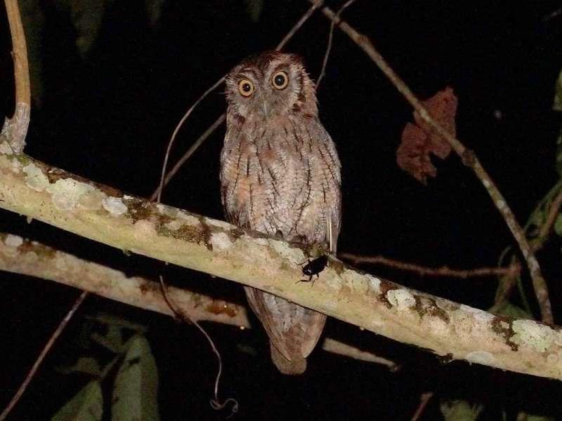 Peru-Kreischeule oder Buscheule (Peruvian Screech-owl, Megascops roboratus); Foto: 10.12.2017, Napo Cultural Center