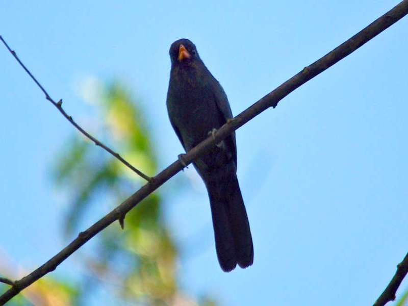 Schwarzstirntrappist (Black-fronted Nunbird, Monasa nigrifrons); Foto: 11.12.2017, Napo Cultural Center