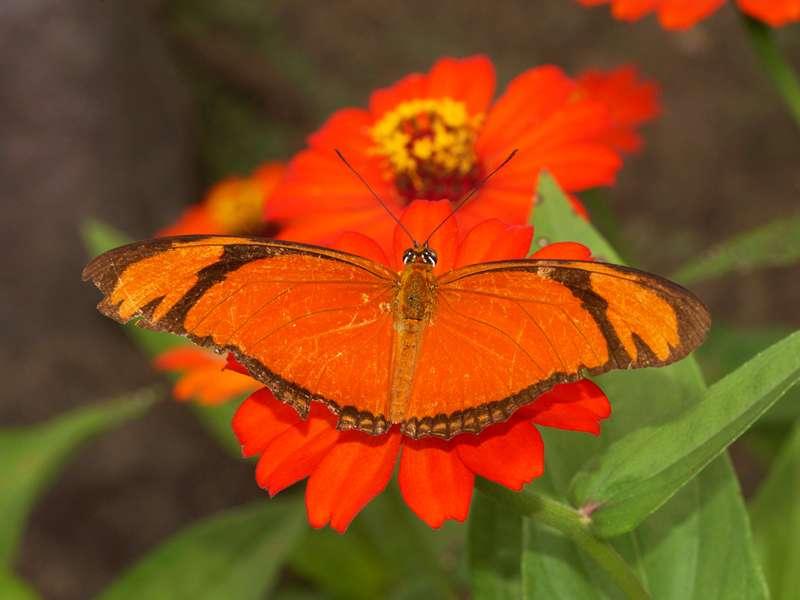Julia-Falter (Julia Butterfly, Dryas iulia); Foto: 12.12.2017, Napo Cultural Center